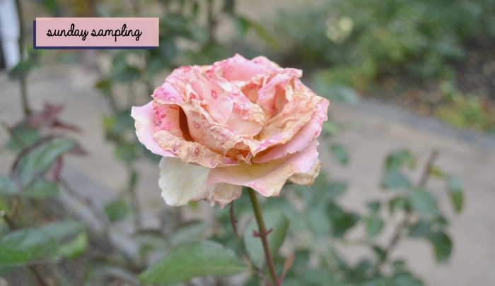 sunday-sampling-rose